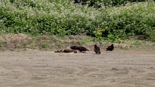 Vultures Feast On A Dead Black...