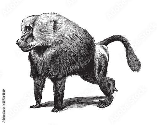 Fotografie, Obraz  Baboon (Cynocephalus Hamadryas) - Vintage illustration from Meyers Konversations