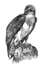 Osprey Or Sea Hawk (Pandion Ha...