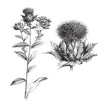 Safflower (Carthamus Tinctoriu...