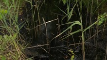 Swamp Water Covered With Dangerous Chemicals Oil