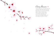 Template Watercolor Cherry Blossom Branches Hand Painted On White Background.