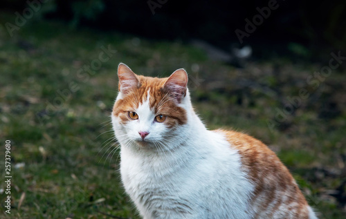 White and yellow adult domestic cat sitting in grass and looking straight