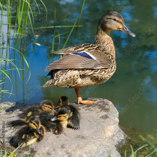 Valokuva The female mallard (Anas platyrhynchos) and his four ducklings are resting next to the pond in summer day