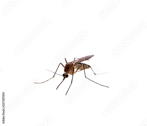 Mosquito isolated on white background Wallpaper Mural