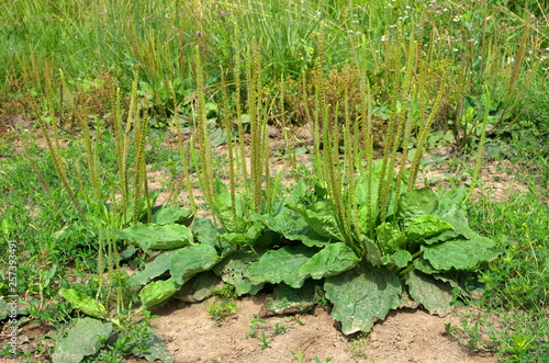 Photo Plantain common (lat. Plantago major) blooms on a summer day