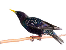 Colorful Plumage Of A Starling...