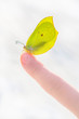 Beautiful sun lit yellow butterfly on a child's index finger against blurred snowy background.