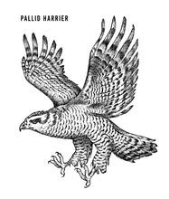 Pallid Harrier. Wild Forest Bi...