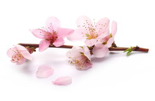 Blooming Peach Flowers On Twig Isolated On White Background