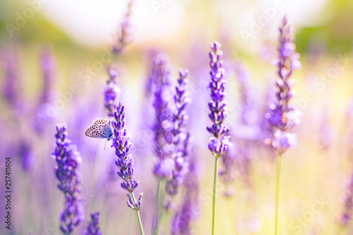 Fototapety, obrazy: Lavender bushes with butterfly closeup on sunset. Sunset mood over purple flowers of lavender. Inspirational summer flowers background
