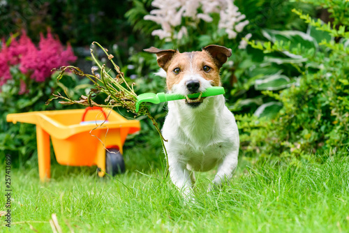 Concept of open and safe for pets garden with dog cleaning weeds with rake Tableau sur Toile