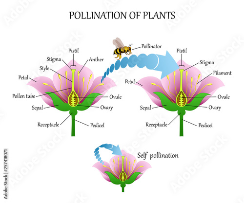 Fototapeta Pollinating plants with insects and self-pollination, flower anatomy education diagram, botanical biology banner