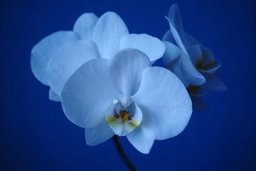 Biała orchidea odizolowywająca na błękicie