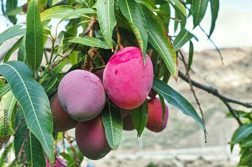 Pinturas sobre lienzo  Tropical mango tree with big ripe mango fruits growing in orchard on Gran Canaria island, Spain