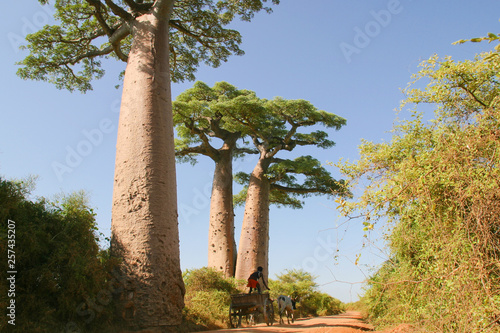 Fotomural Grandidier's baobabs in wilderness of Madagascar