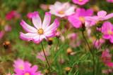 Fototapeta Kosmos - The Cosmos Flower