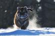 Siberian tiger running