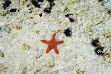 Top View Of Pretty Red Knobbed Star Fish / Horned Sea Star And Sea Urchins In The Indian Ocean In Zanzibar, Tanzania On A Sunny Summer Day / South Africa Nature