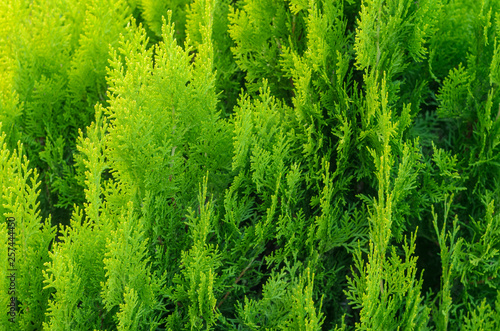 mata magnetyczna Thuja Coniferous Plant Texture. Green Floral Blank Background