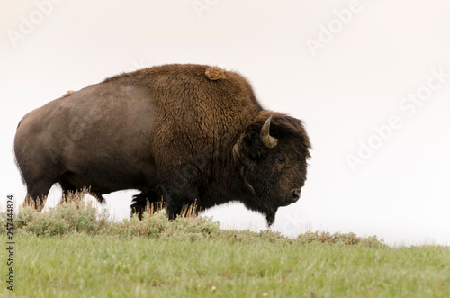 Aluminium Prints Bison bison in Yellowstone Nationale Park in Wyoming