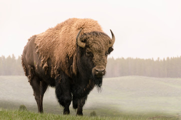 bison in Yellowstone Nation...
