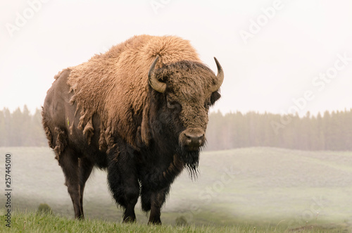 Recess Fitting Bison bison in Yellowstone Nationale Park in Wyoming