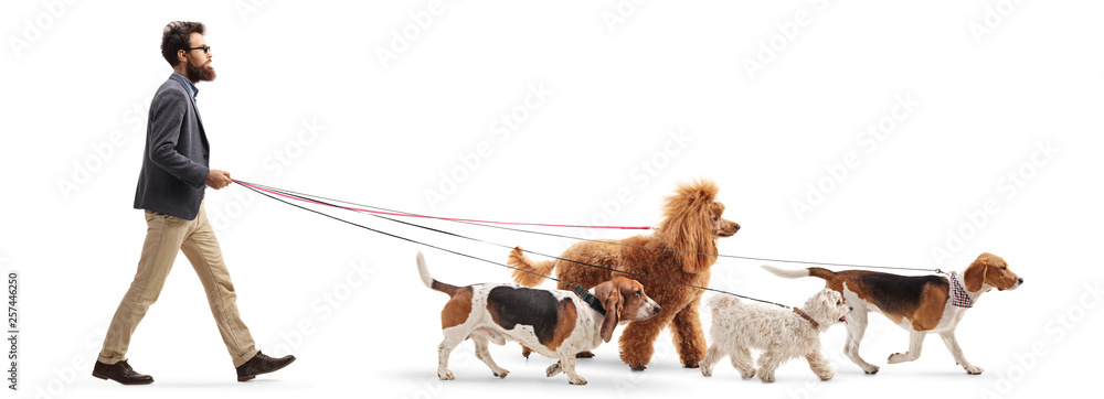 Fototapeta Male dog walker walking four different dogs