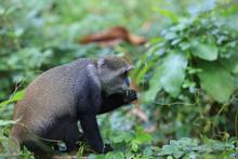 Monkey Eat Green Leafage In Jungle