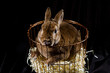 Fluffy rabbit sitting in a basket on a black background