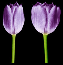Purple Tulips. Flowers On The Black Isolated Background With Clipping Path.  Closeup.  No Shadows.  Buds Of A Tulips On A Green Stalk.  Nature..