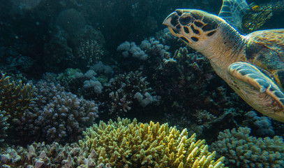 Hawksbill sea turtle in the Red Sea, dahab, blue lagoon sinai