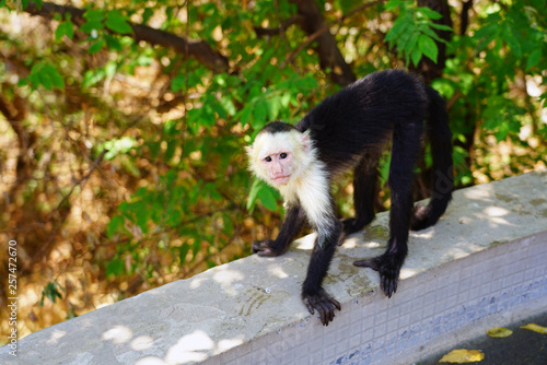 A white-headed capuchin monkey (cebus capucinus) by the pool in Peninsula Papaga Tapéta, Fotótapéta