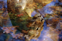 Reflection Of Lioness In Still...