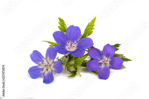 Fotomural Geranium sylvaticum