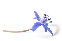 Two-leaf Squill