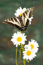 Pale Swallowtail Butterfly (Papilio Eurymedon) On Daisys, Nevada County, California