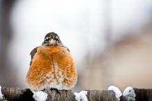 Red Robins Birds In Backyard I...