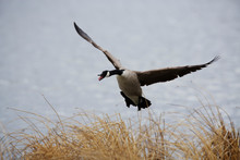 A Canada Geese Comes In For A ...