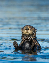Sea Otter (Enhydra Lutris) Eyes The Camera, Elkhorn Slough, California