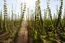 Oregon Hop Farm During The Summer
