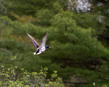 A Duck Takes Flight.