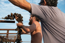 Two Oyster Farmers Hanging Oysters To Help Them Grow Bigger And Faster, Marseillan, Herault, France