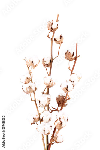 Fotografía  Cotton flowers isolated on white background