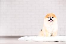 Pomeranian Dog Sitting On White Carpet