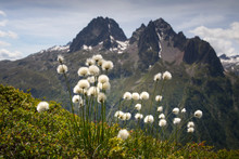 Alpine Cotton Flowers In The Chamonix Valley As Seen During The Famous Tour Du Mont Blanc Hike.