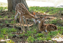 Two Little White Tailed Deer Fawns Playing Together.