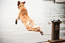 Golden Retriever Dog Jumping I...