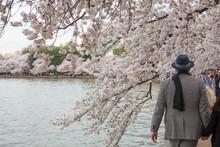 Cherry Blossoms, Washington D....