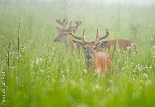 Valokuva  White Tailed Bucks in velvet in green grass.